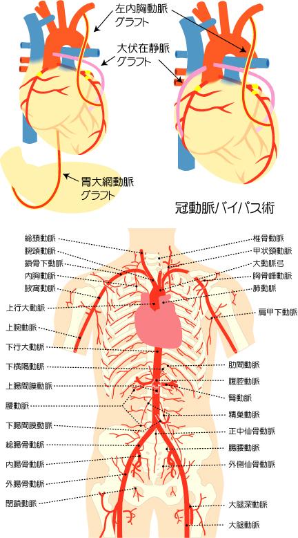 心臓と人体のイラスト